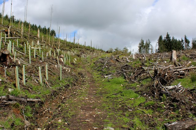 Path through Felled Forest on Whitemore