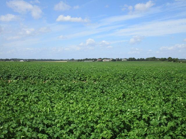 Potato crop on Humbleton Moor