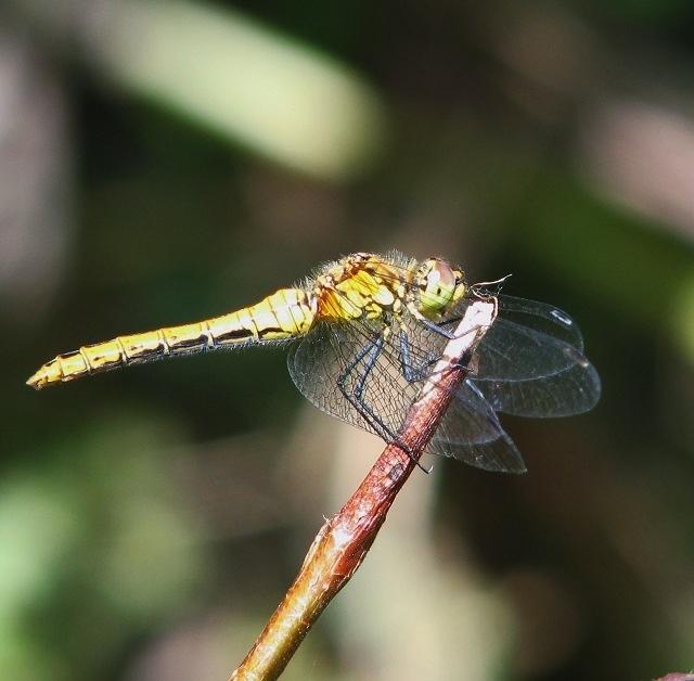 Ruddy Darter (Sympetrum sanguineum) - female