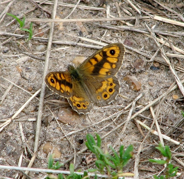 Wall butterfly (Lasiommata megera)