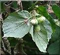 TG3303 : Ripening hazelnuts by Evelyn Simak
