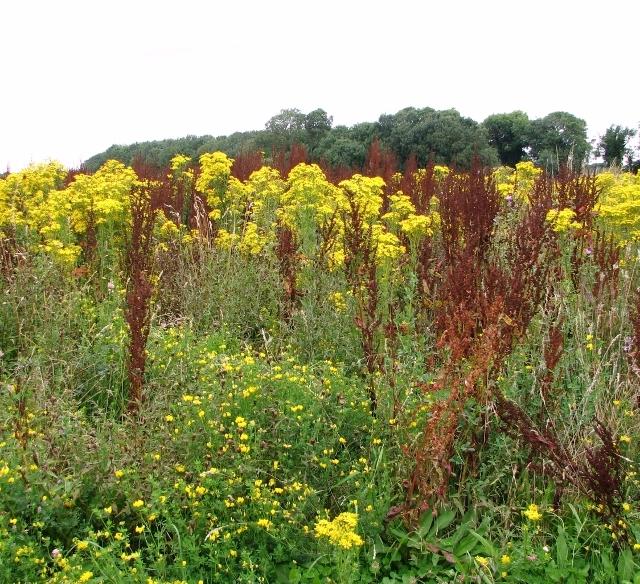 Seeding dock and flowering ragwort