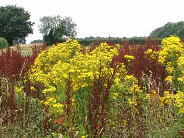 Field colonised by ragwort and dock