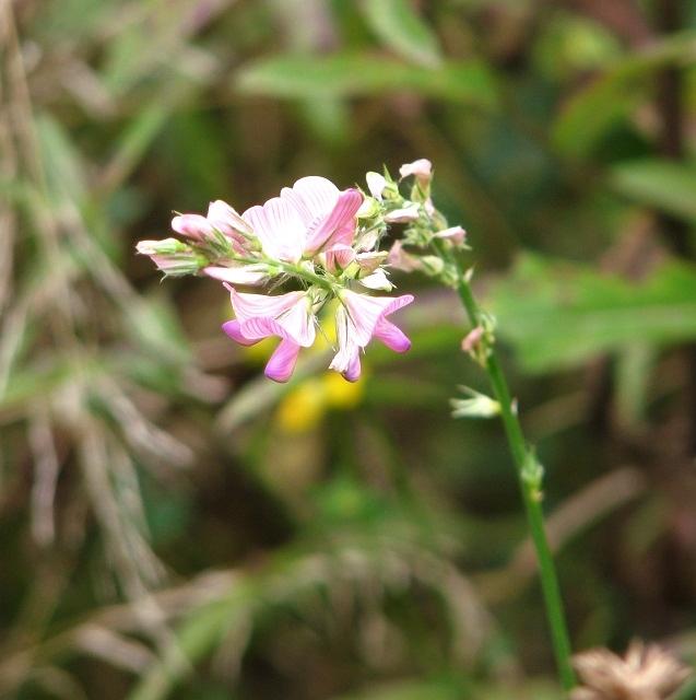 Common Sainfoin (Onobrychis viciifolia)
