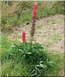 TG3204 : Lupin  (Lupinus sp) by Evelyn Simak