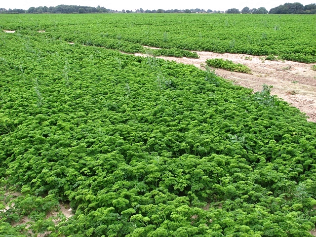A field of Parsley (Petroselinum crispum)