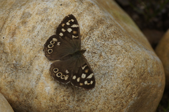 Speckled Wood (Pararge aegeria), Struy