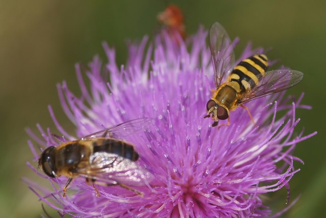 Two hoverflies, Struy