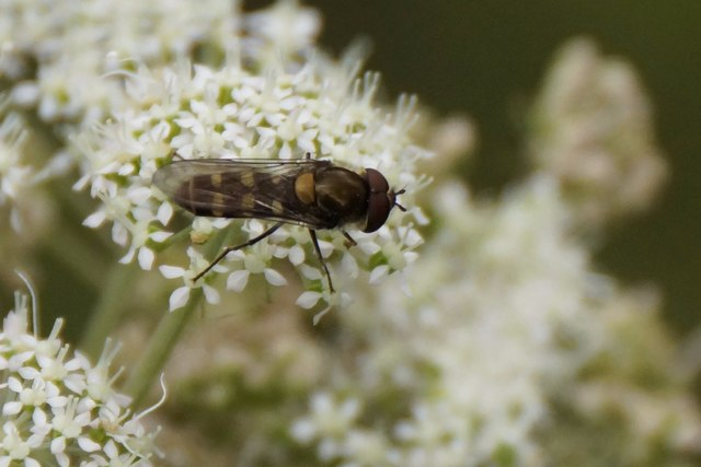 The hoverfly Melangyna labiatarum/compositarum, Glen Affric
