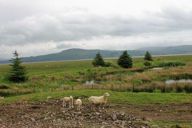 Wigtown Sheep