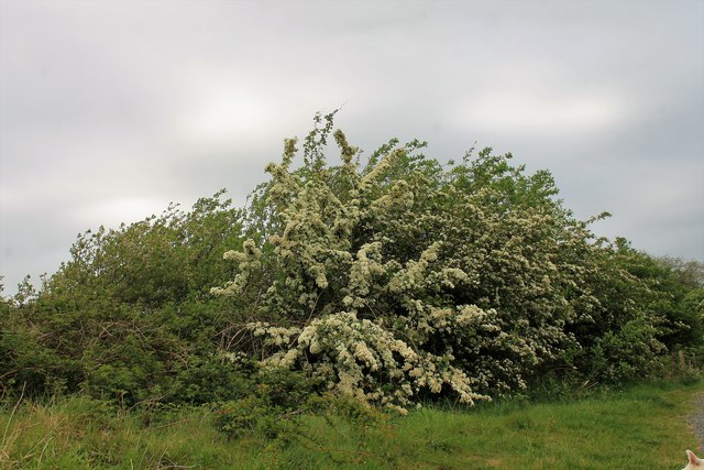 Pathside Hawthorn