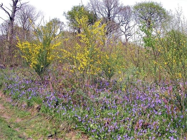 Broom and bluebells in flower, Brede High Woods