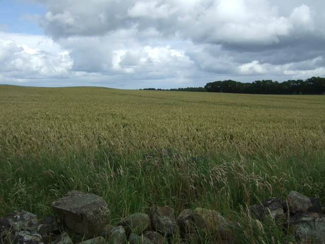 Cereal crop near Sherrifside