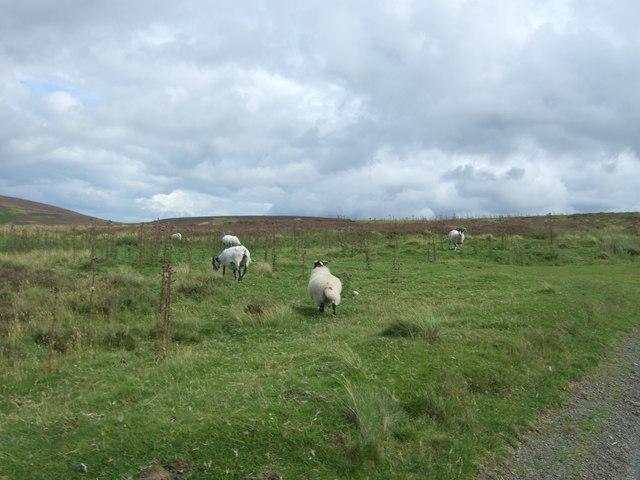 Sheep beside the B6355