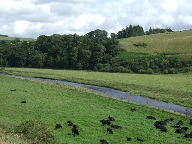 Cattle near Whiteadder Water