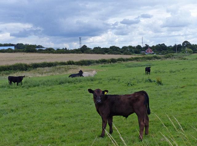 Cattle and farmland next to Abbey Farm