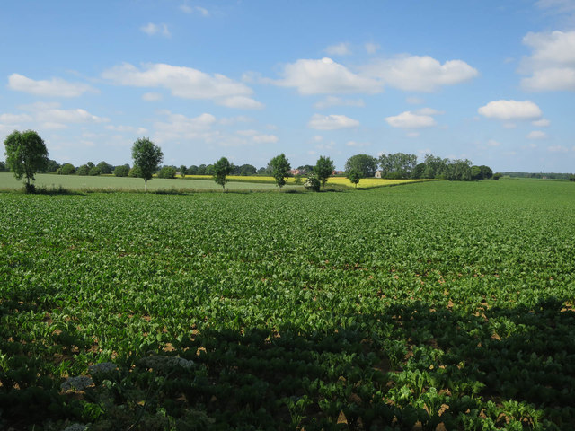 Sugar beet by Burlingham Road