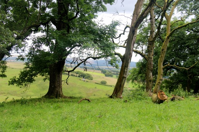 Old bank of trees at Loudon Hill