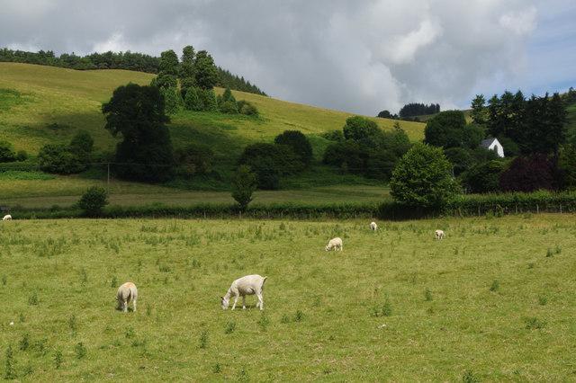 Sheep pasture at Pilleth