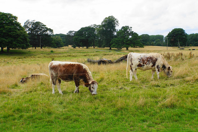 Longhorn cattle at Shugborough