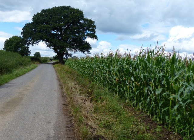Maize growing next to the Lubbesthorpe Bridle Road