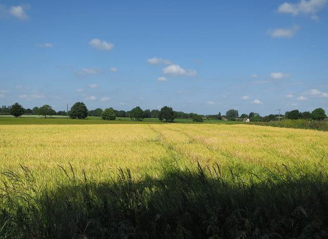 Barley field by Buckenham Road