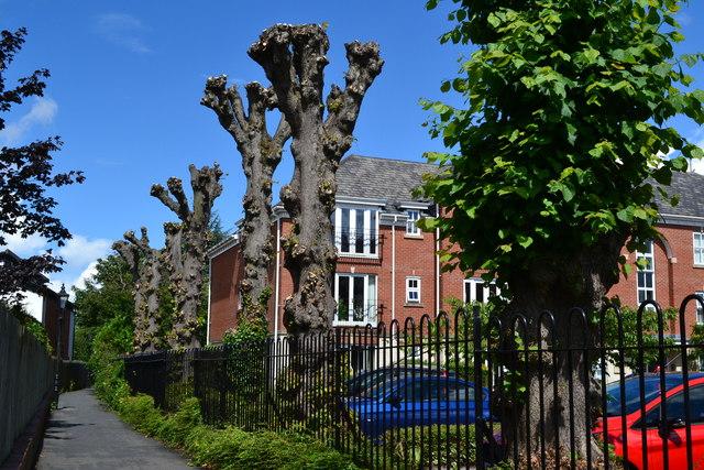 Pollarded trees beside footpath off Priory Walk