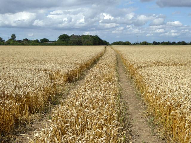 Footpath through a wheat field