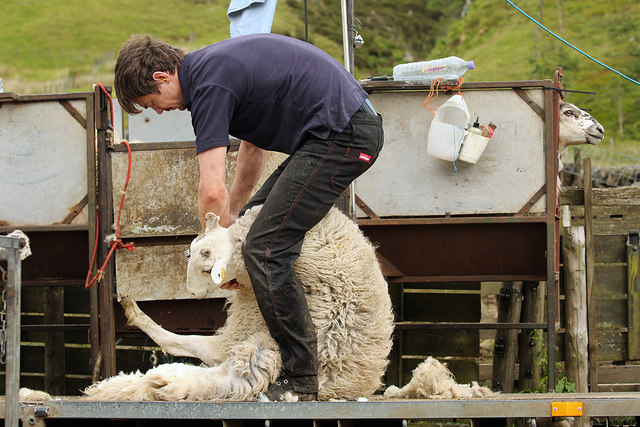 Sheep shearing at Birkhill