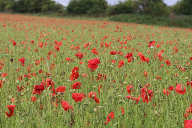Poppy field near Ford