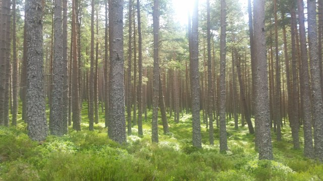 Forest near Glenmore Lodge