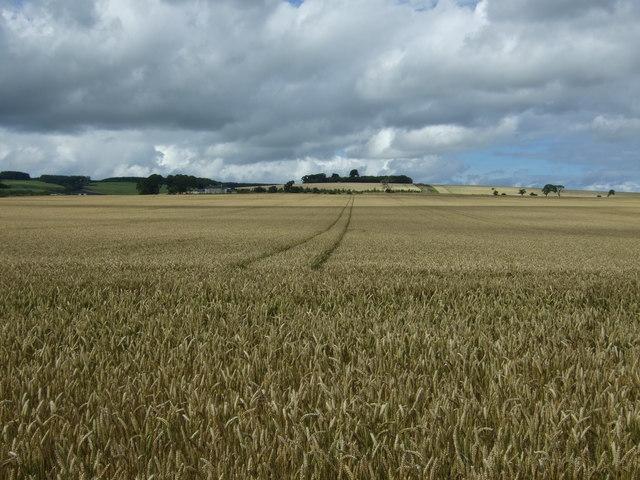Cereal crop near Marden