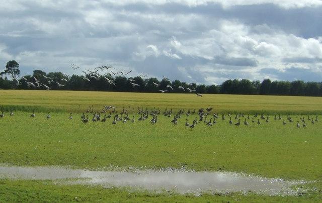 Geese on a damp field near Cruxfield