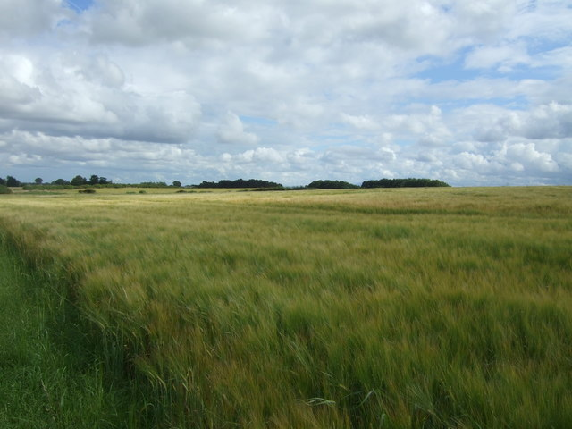 Cereal crop near Cruxfield
