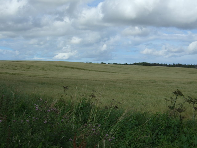 Cereal crop near Lintlaw