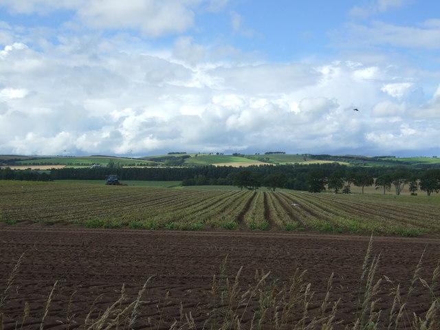 Potato crop Lintlaw