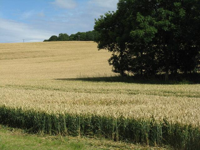 Wheat at Waren Mill