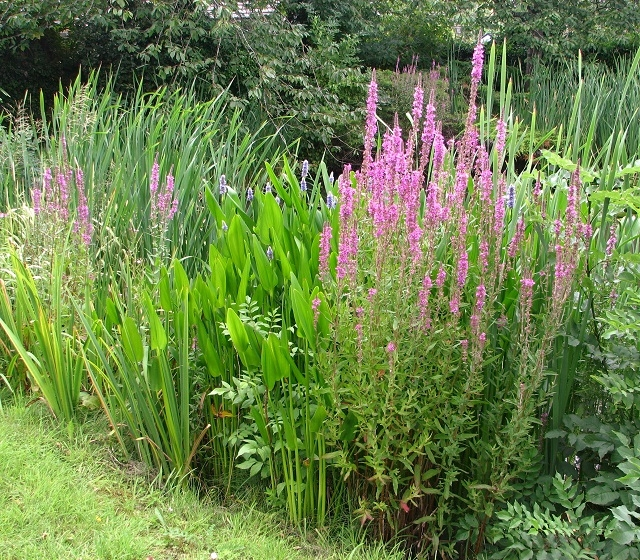 Purple loosestrife  (Lythrum salicaria)