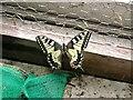 TQ7719 : Swallowtail butterfly, Sandrock Hill by Patrick Roper