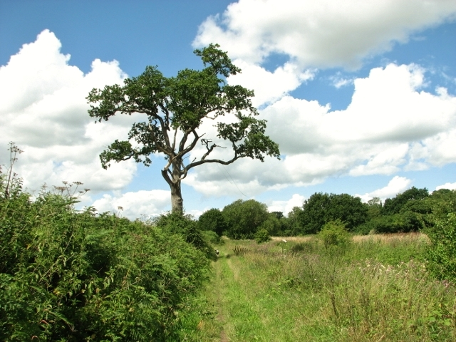 Solitary oak beside Wash Lane
