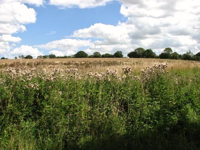 Crop field beside Wash Lane
