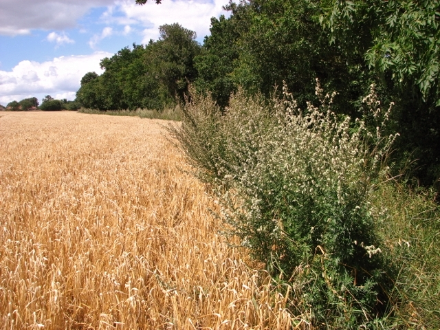 Mugwort and ripening barley