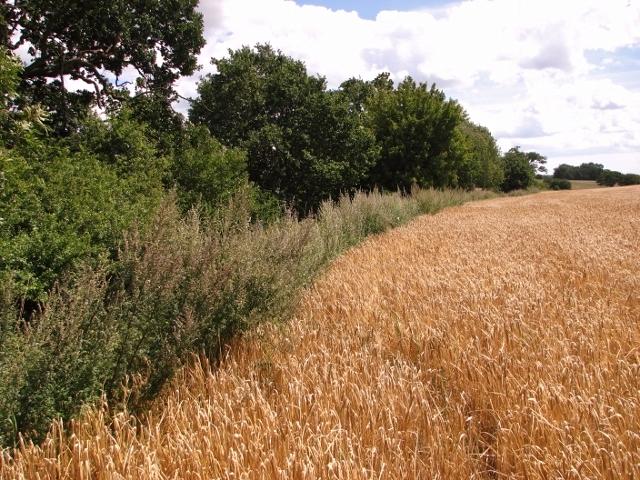 Barley crop field beside Wash Lane