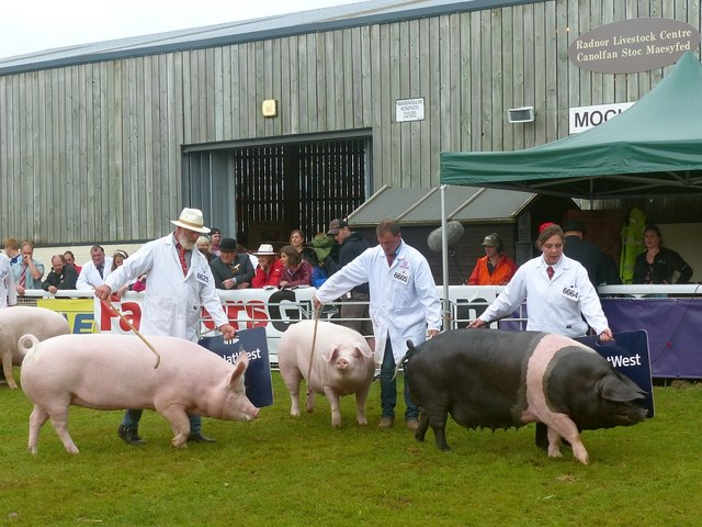 Pigs being judged, Royal Welsh Show