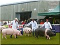 SO0352 : Pigs being judged, Royal Welsh Show by Robin Drayton