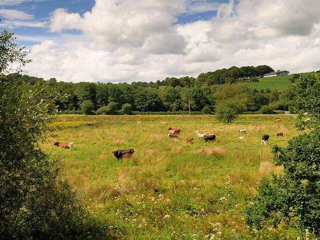 Cows Grazing near Basford Green