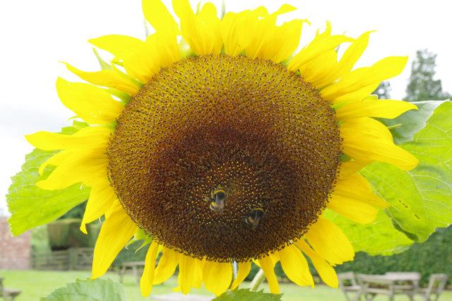 Sunflower - walled garden, Berrington Hall