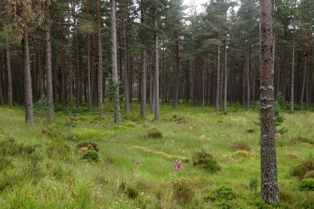 Woodland east of Glenmore Lodge
