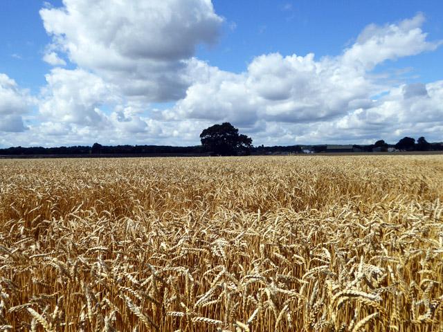 Wheat field, Hawkwell