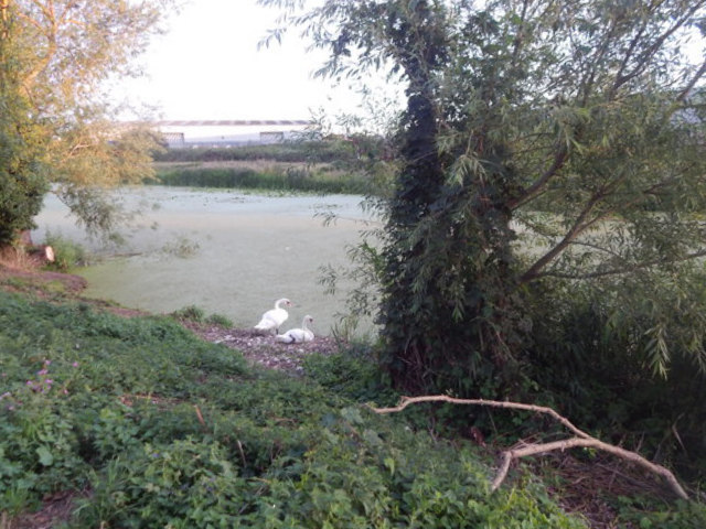 Swans on the River Gipping